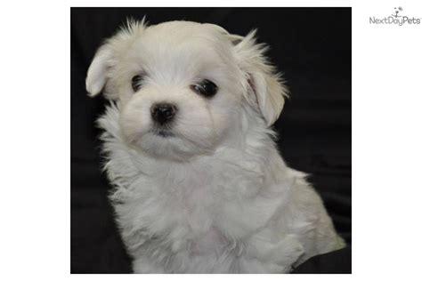 maltese puppies for sale bay area maltese puppy for sale near ta bay area florida e58b2c5e cbd1