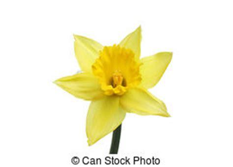 fiore narciso foto narciso fiore immagini e archivi fotografici17 322 narciso
