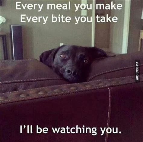 why does my dog act hungry all the time cesar s way best 20 black lab funny ideas on pinterest
