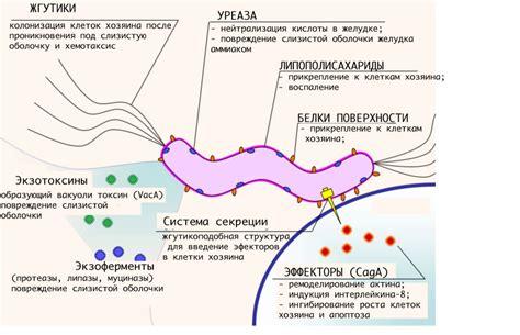 protein h pylori file h pylori virulence ru1 jpg wikimedia commons