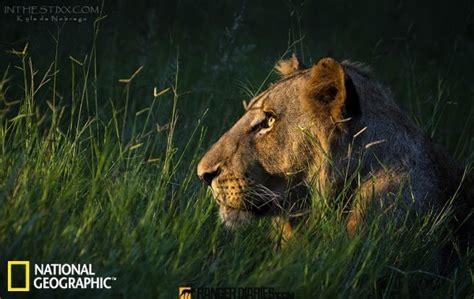 imagenes de leones national geographic top 25 fotos m 225 s bellas de los animales salvajes de