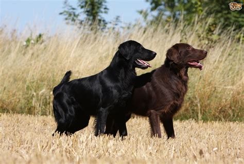flat coated retriever breed guide breeds picture