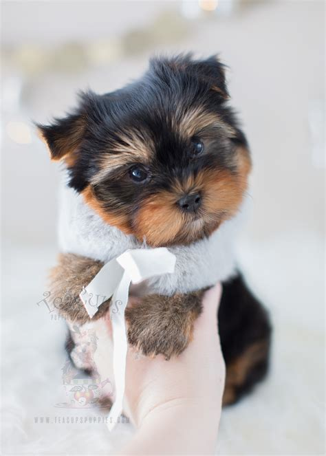 teacup yorkie teacup yorkies here teacups puppies boutique