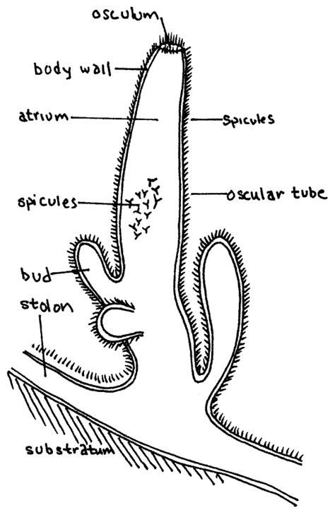euspongia diagram biology world august 2012