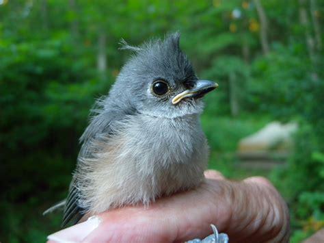 red knot willistown conservation trust bird blog