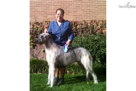 wolfhound puppies for sale price wolfhound puppy for sale near wichita kansas c97ffaec d381