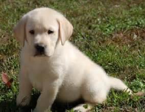 Pics photos free labrador retriever puppies for adoption