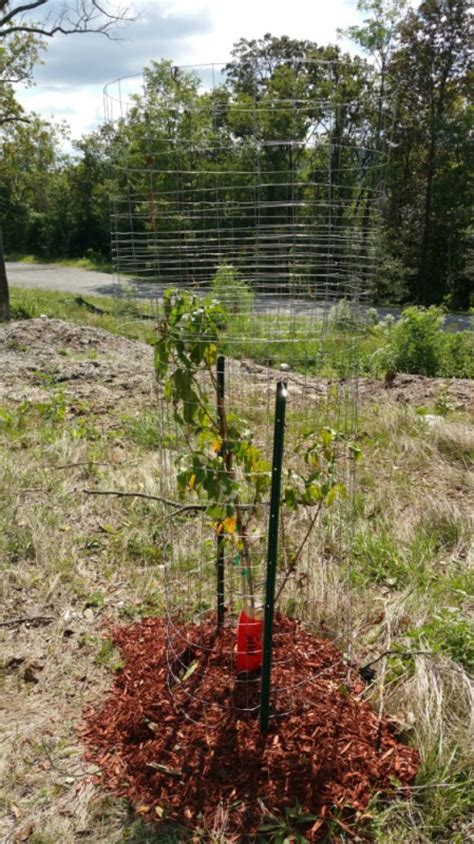 protecting fruit trees from deer dealing with deer all the leaves my new fruit