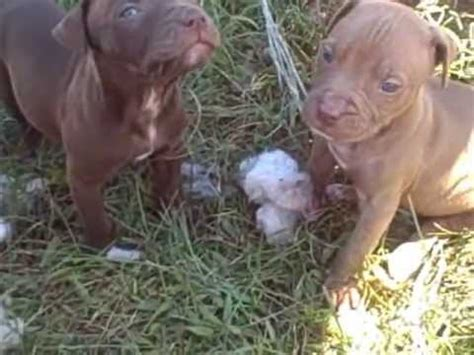 5 week pitbull puppy nose pitbull puppies 5 weeks and parents