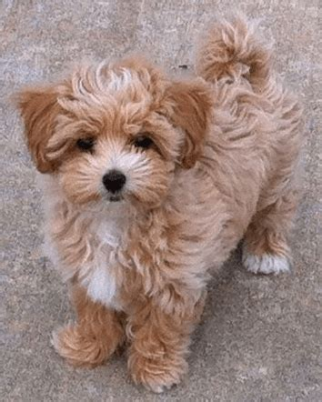 shih tzu information and facts shih tzu poodle facts dogs in our photo