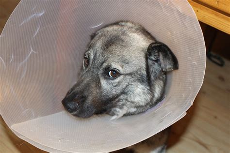 sick dogs free photo sick elkhound funnel free image on