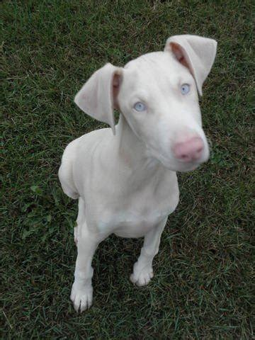 white doberman puppies for sale white doberman puppy breeds picture