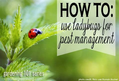 gardening 101 how to use ladybugs for pest management