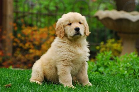 golden retriever puppy commercial free photo golden retriever puppy canine free image on pixabay 1827899