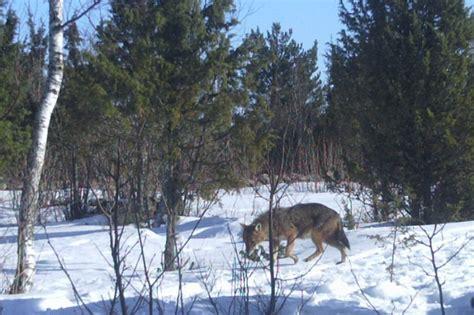 jackals  western estonia  fact looduskalenderee