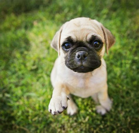 chihuahua pug puppies chihuahua pug mix a look at this combination practical paw the