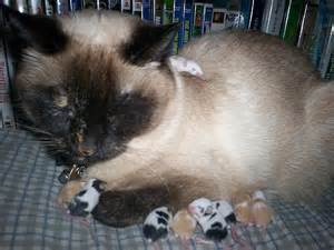 Meeko and 9 baby mice my cat a a litter of mice flickr