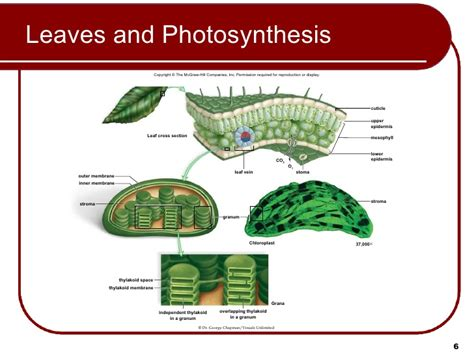 cross section of chloroplast 07 lecture animation ppt