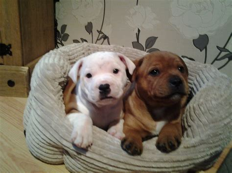 staffordshire terrier puppies stunning staffordshire bull terrier puppies kilmarnock ayrshire pets4homes