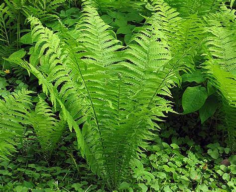 garden ferns a quiz to help with recognition and
