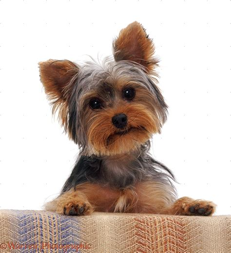 yorkie puppy terrier information names my home i dogs