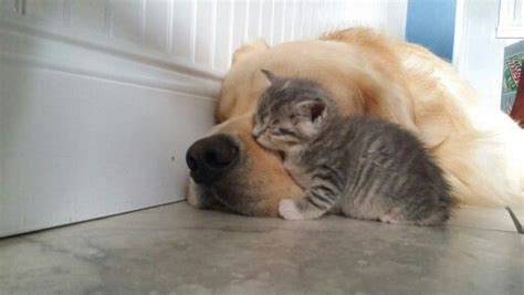 My Nap Friend Pic 1503 best cats dogs best friends images on