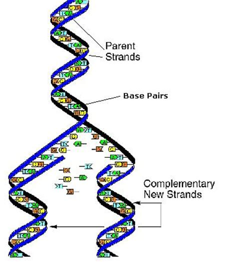 each human chromosome is replicated in about sections origins
