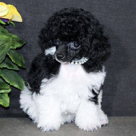 teacup puppies for sale in wisconsin 1000 ideas about teacup poodle puppies on tea cup poodle small dogs