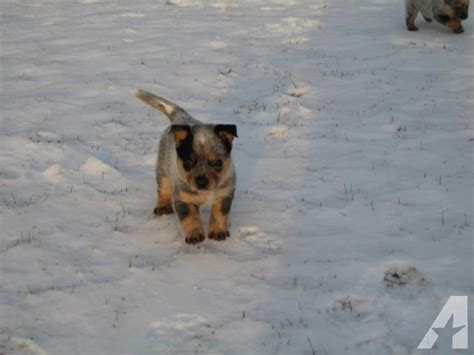 blue heeler puppies ohio adorable blue heeler puppies for sale for sale in dalton ohio classified