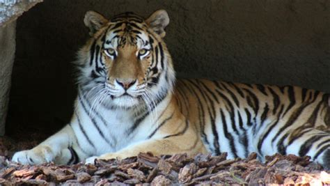 detroit zoo tigers to get new home