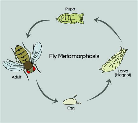 fruit fly cycle fruit fly cycle education