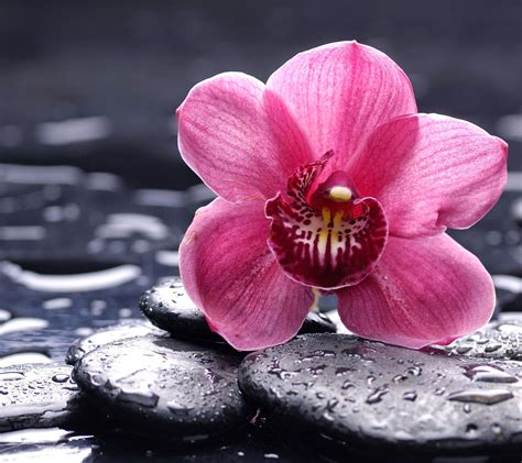 flower zen wallpaper orchid flower image hd wallpaper stock photos free download
