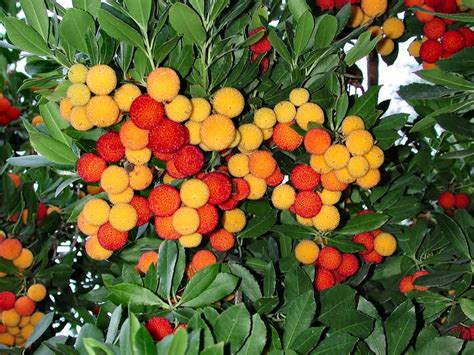 strawberry tree pictures photos images facts on the