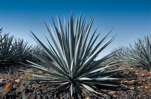 great news sugars in tequila aid weight loss and lower blood sugar levels clubzone blog