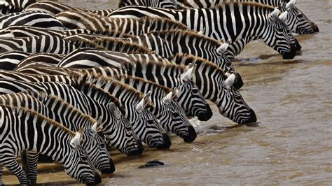 what color is a zebra black and white zebra colors photo 34705014 fanpop