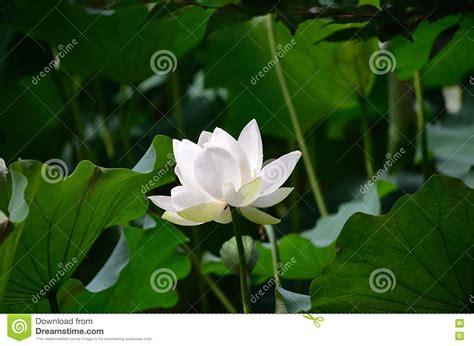 fiore di loto bianco fiore di loto bianco kyoto giappone fotografia stock