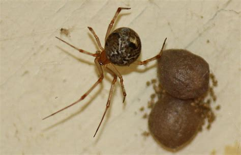 house spider cobweb spiders archives page 3 of 13 what s that bug