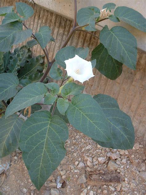 datura plant growing information  datura trumpet