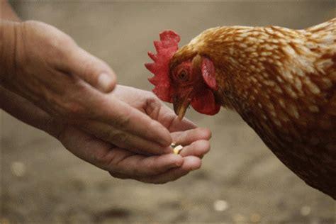 galline ovaiole alimentazione allevare galline ovaiole qual 232 l alimentazione migliore