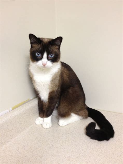 snowshoe images snowshoe cat history personality appearance health and
