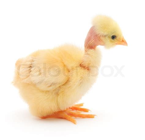 small chicken small chicken stock photo colourbox