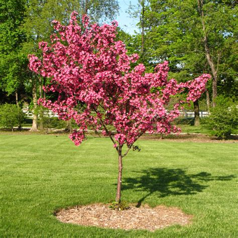 hardy flowering shrubs redbud cercis avondale