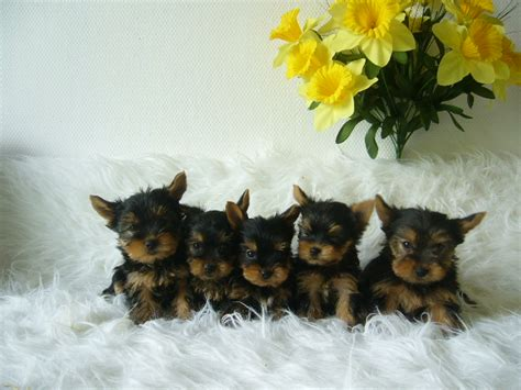 free puppies albany ny pets albany ny free classified ads