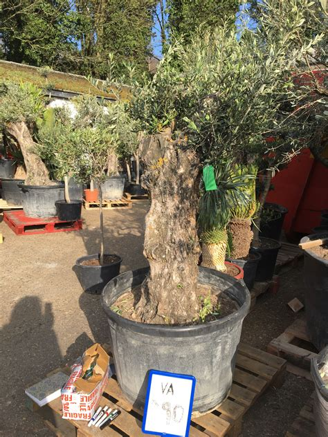 how much does olive trees cost 100 year olive tree for sale