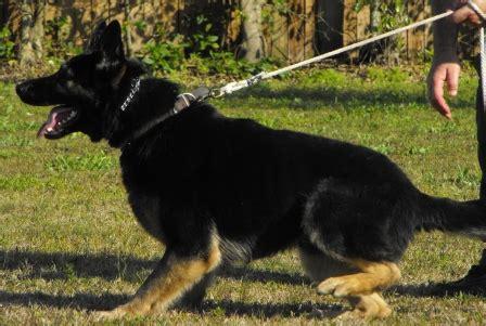 k9 dogs for sale k9 international llc