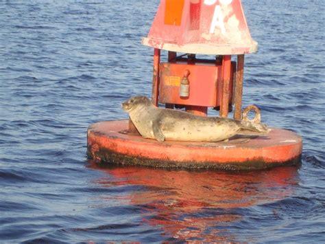 boat canvas wilmington nc harbor seal got lost in the cape fear river