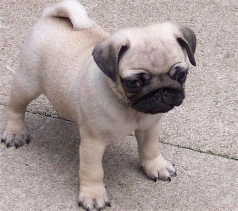 lifespan of pugs 10 best and popular small dogs that are with me and my pet