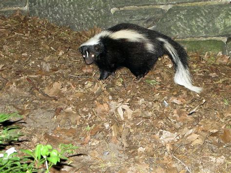 Getting Rid Of Skunks Shed by Wildlife Biotech Pest Management