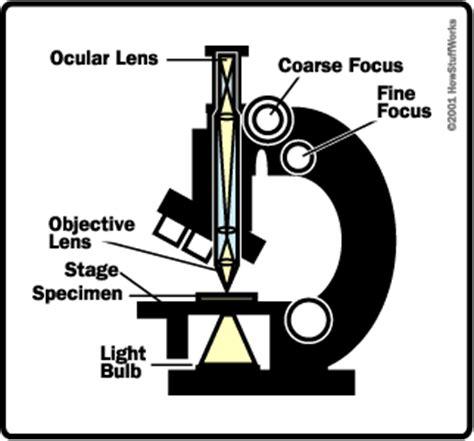 how does a light microscope work the basics how light microscopes work howstuffworks