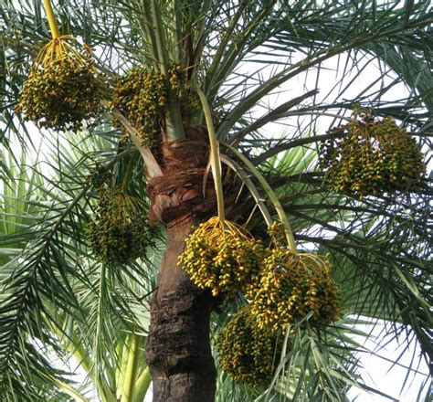 palm tree fruit name date palm fruits feedipedia